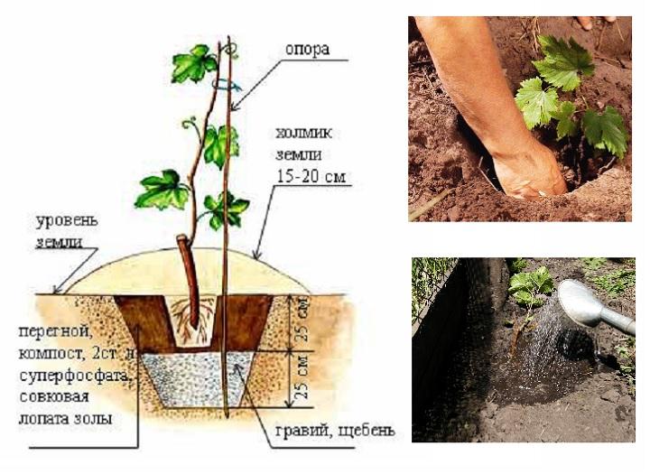 Как посадить виноград?
