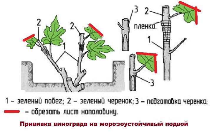 Схема привития винограда
