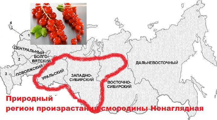 Регион выращивания смородины Андрейченко