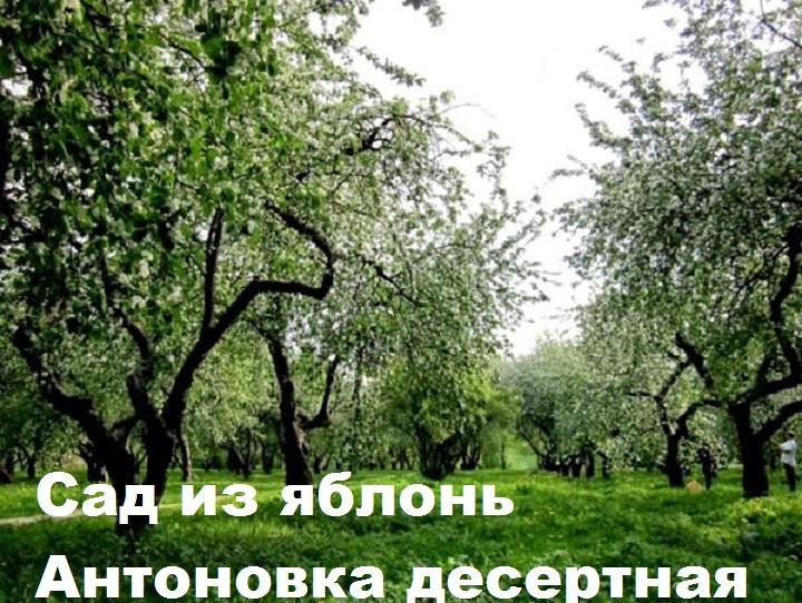 Сад из яблонь Антоновка
