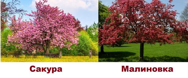 Деревья сакуры и малиновки