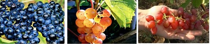 Версии сортов винограда