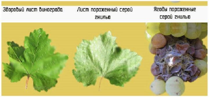 Как серая гниль меняет виноград