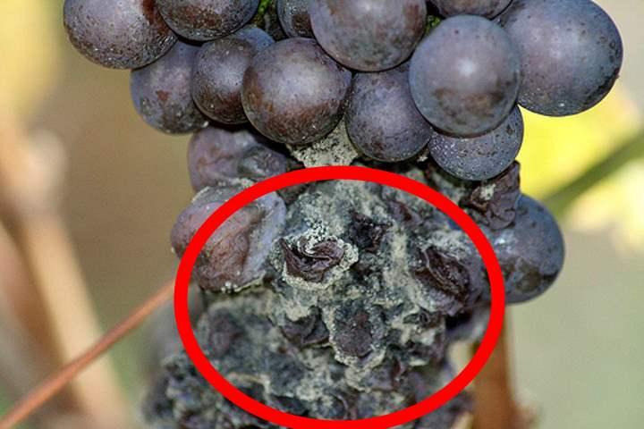 Гниль поражает гроздь винограда