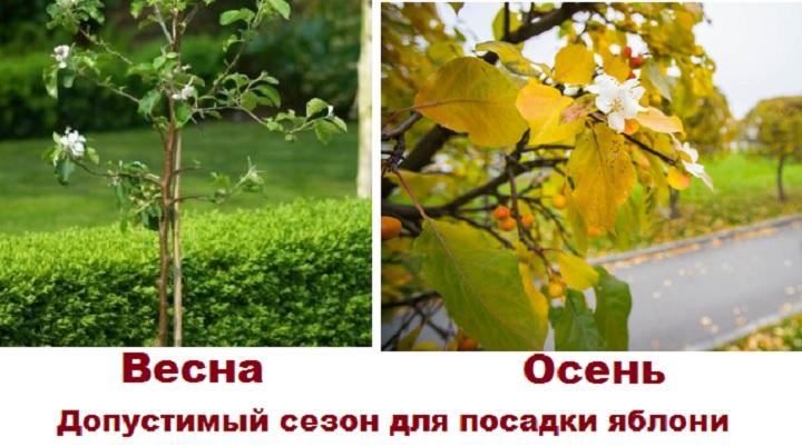 Весна и осень для посадки яблони