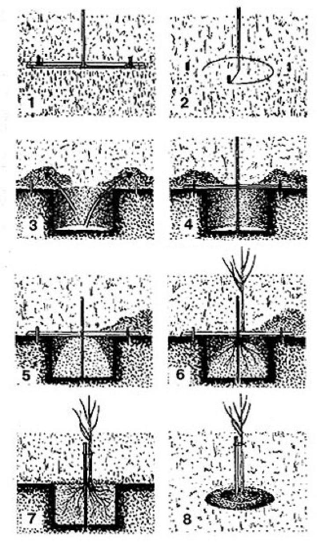 8 шагов высадки саженцев
