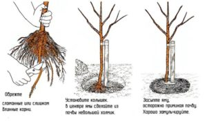 Три шага посадки сливы