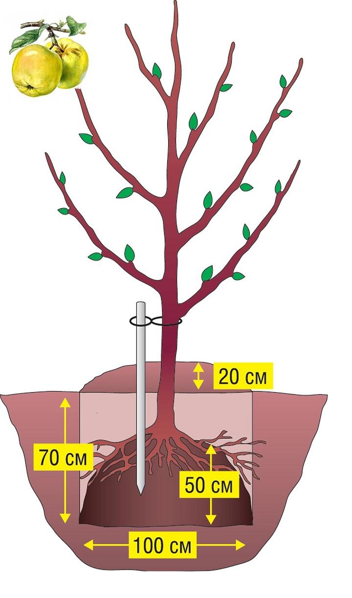 Размер ямы под яблоню