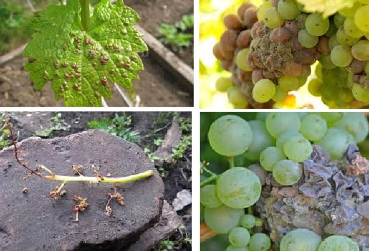 Проявление гнили на винограде