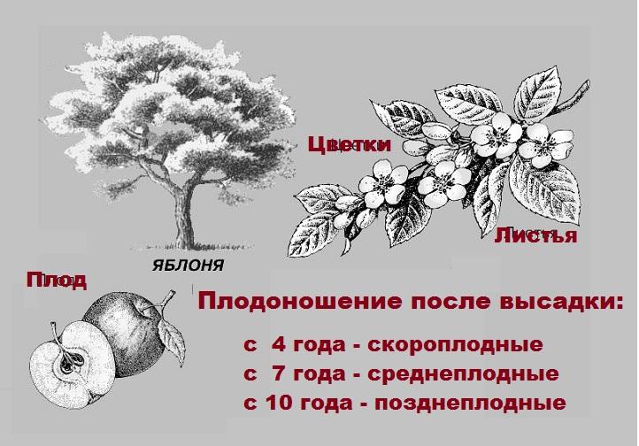 Скороплодность яблони