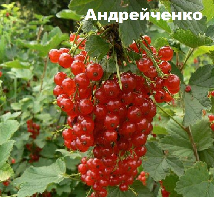Гроздь смородины Андрейченко