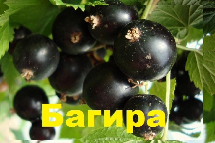 Ягоды смородины Багира