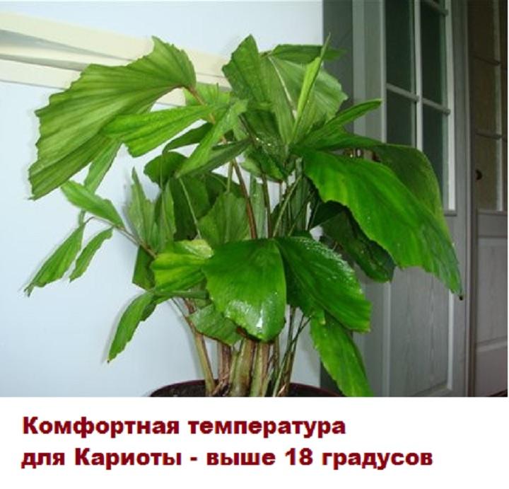 Оптимальная температура для пальмы