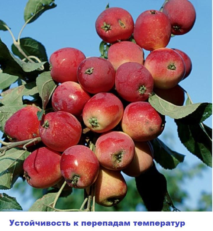 Гроздевое вызревание яблок