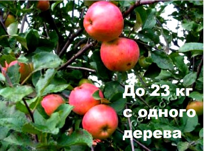 Сорт яблони Августа высокоурожайный