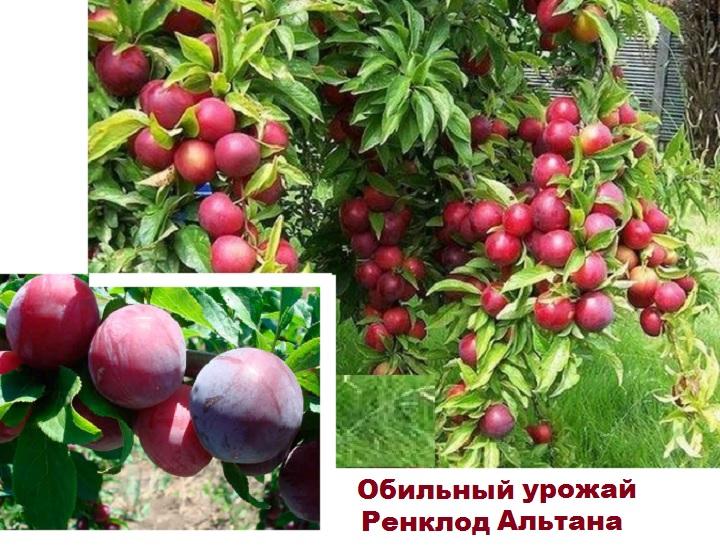 Слива гроздями