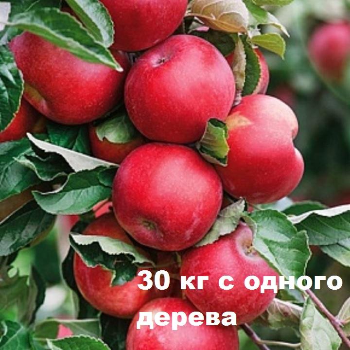 Урожайность яблони Алтынай