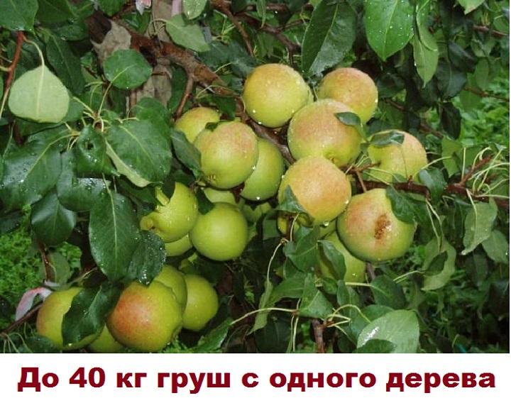 Урожайность груши