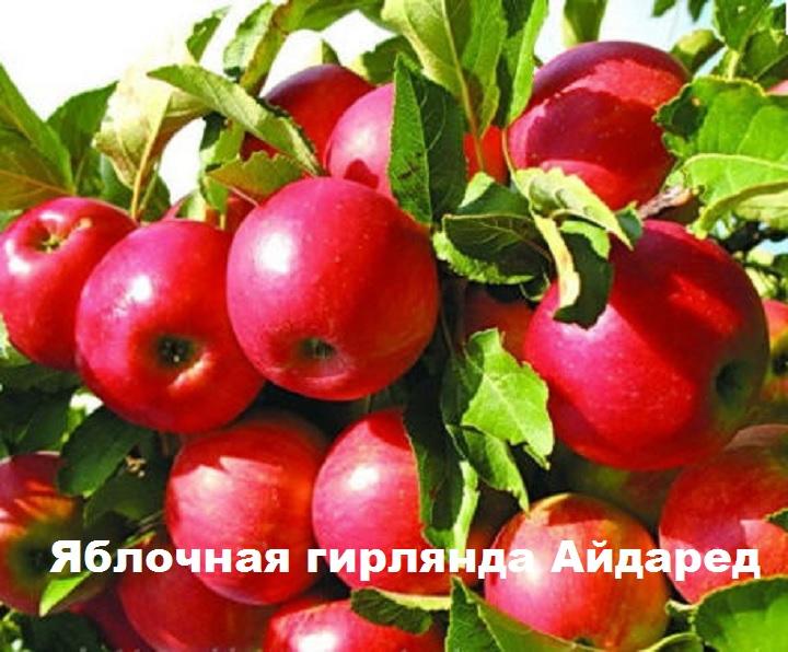 Гроздевая урожайность яблони