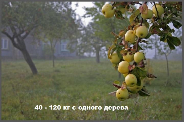 Гроздь яблок антоновки