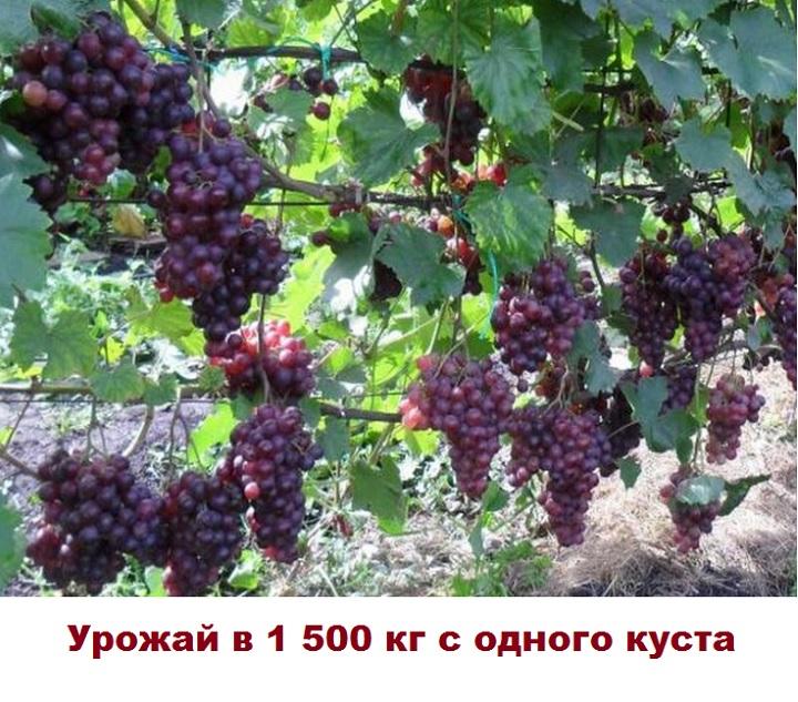 Куст винограда Кардинал
