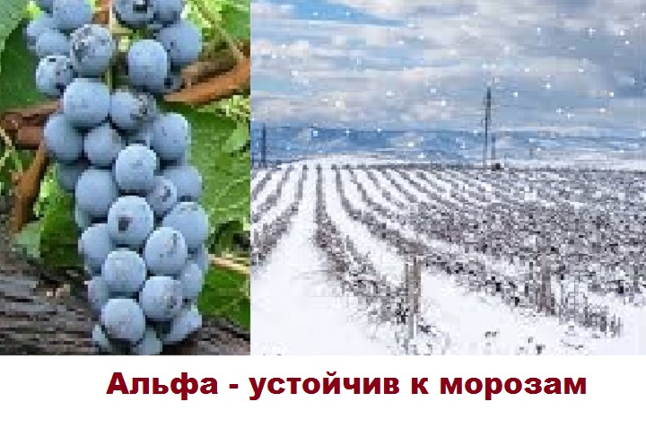 Альфа - морозоустойчивый виноград