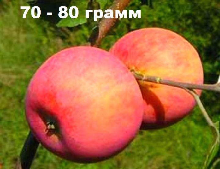 Вес одного яблока сорта Алтынай