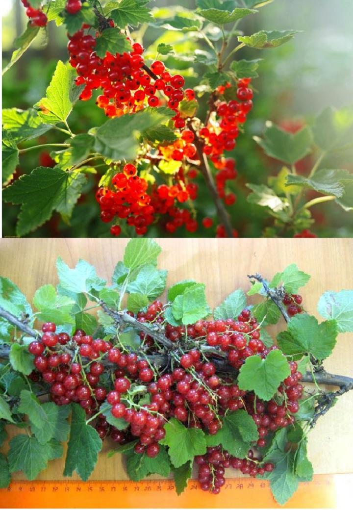 Ветка ягодок смородины Андрейченко