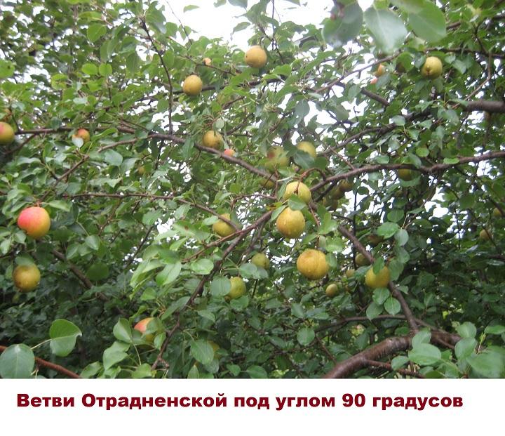 Дерево груши Отрадненская