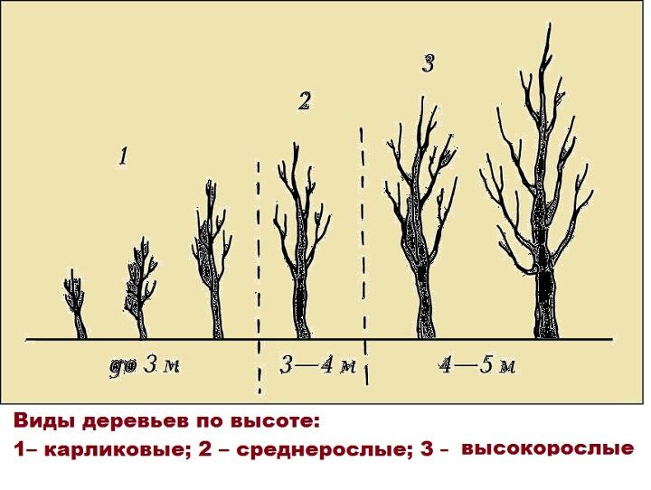 Среднерослые деревья на рисунке