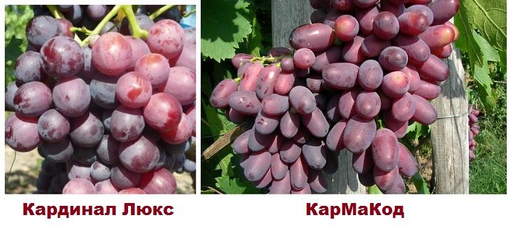Разновидности винограда Кардинал