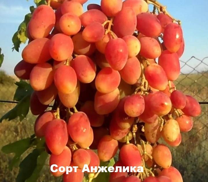 Виноград сорт анжелика