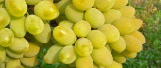Гроздь винограда Тимур
