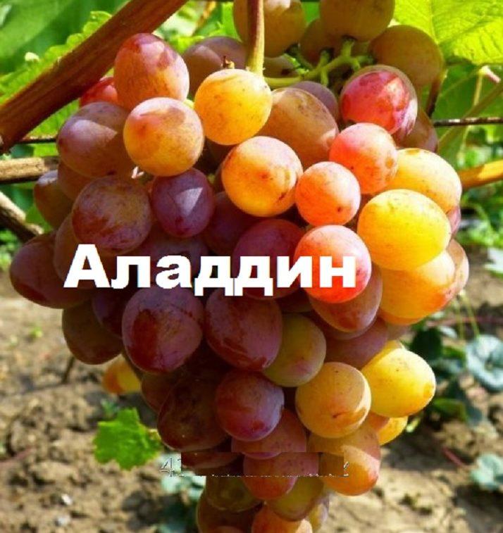 Гроздь винограда сорта Аладдин
