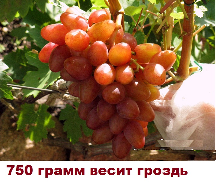 750 грамм весит гроздь