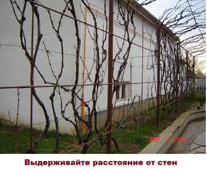 Первая опасность виноградаря