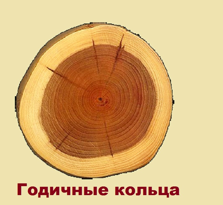 Определение возраста вишни по кольцам