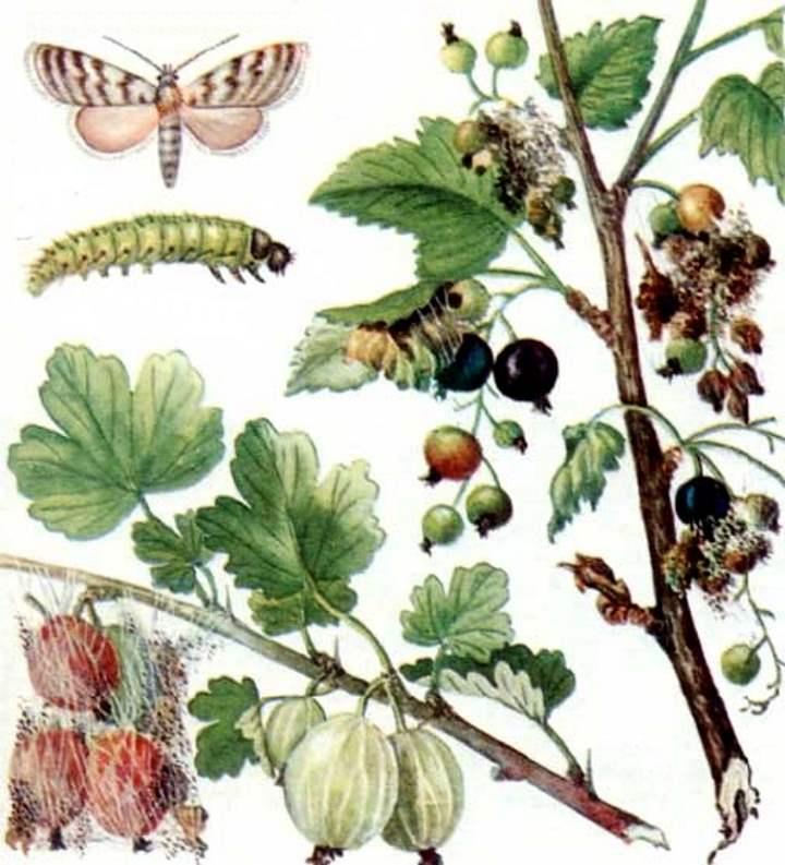 Личинки и бабочки-вредители кустов