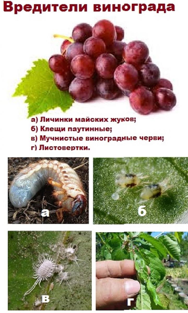 Фото вредителей виноградных