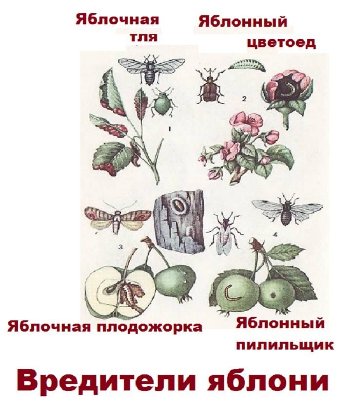 Рисунок вредителей яблонь