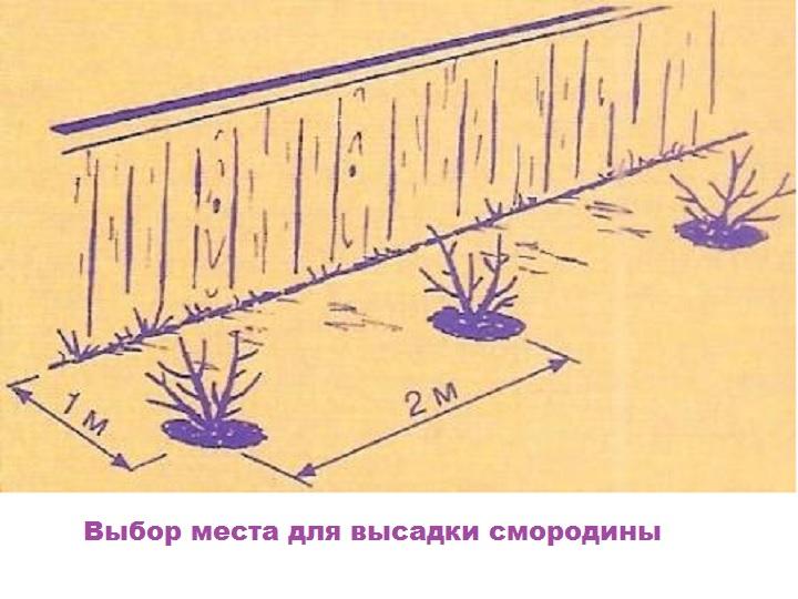 Схема участка для высадки красной смородины