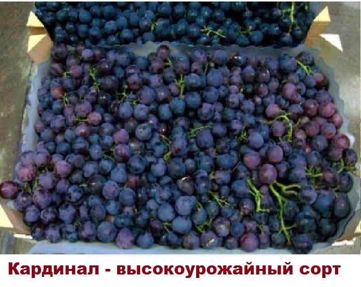 Виноград в ящике