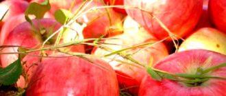 Яблоки сорта Алтынай