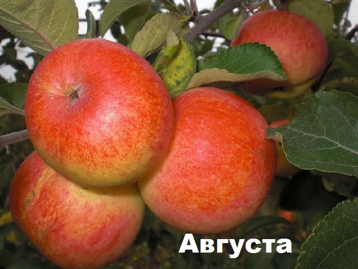 Трио плодов Августа