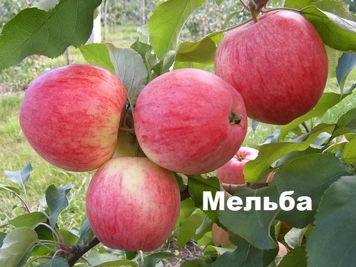Плоды на ветке. Яблоня Мельба