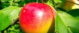 Внешний вид яблока сорта Скала