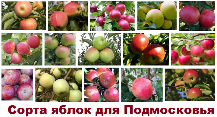 Сорта яблок для Московской области