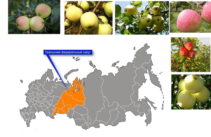 Уральские сорта яблонь. Плоды