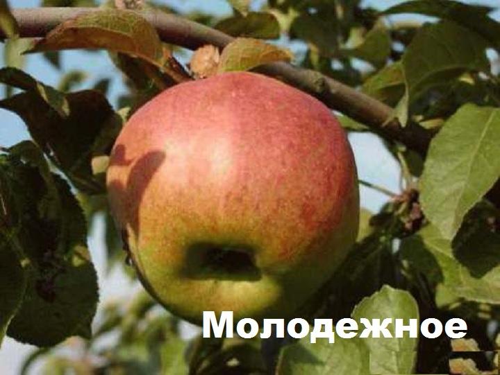 Яблоко сорта Молодежное