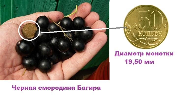Смородина в сравнении с монеткой